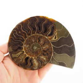 AMONIT - 128 mm - KREDA DOLNA - 110 mln lat - MADAGASKAR