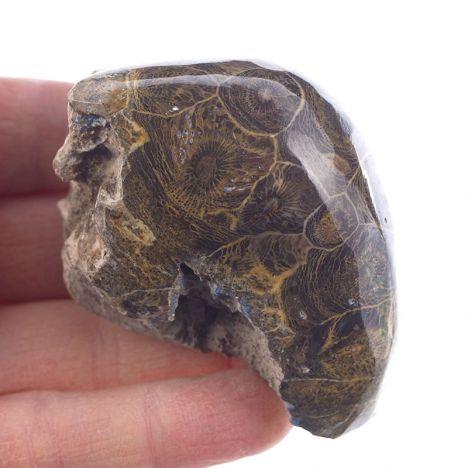 KORALOWIEC KOLONIJNY SPRZED OKOŁO 390 mln lat - DEWON - MAROKO