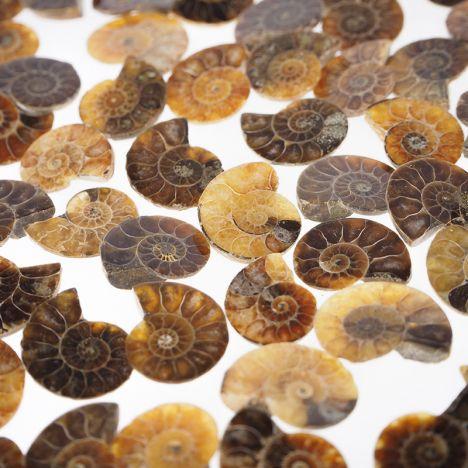 AMONIT - 17-23 mm - KREDA DOLNA - 110 mln lat - MADAGASKAR
