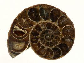 AMONIT - 36 mm - KREDA DOLNA - 110 mln lat