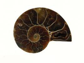 AMONIT - 28 mm - KREDA DOLNA - 110 mln lat
