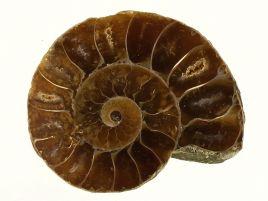 AMONIT - 33 mm - KREDA DOLNA - 110 mln lat