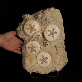 JEŻOWCE Scutella paulensis W SKALE 374 mm - FRANCJA
