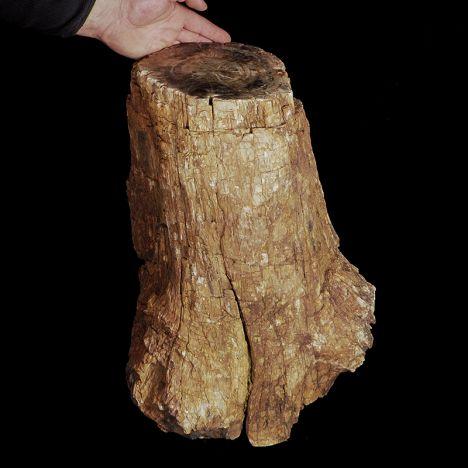 SKAMIENIAŁE DREWNO - DUŻY PIEŃ - 65 kg - MADAGASKAR