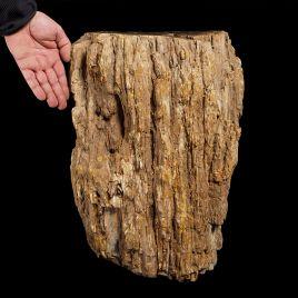 SKAMIENIAŁE DREWNO - DUŻY PIEŃ - 83 kg - MADAGASKAR