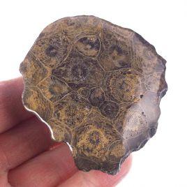 KORALOWIEC KOLONIJNY SPRZED OKOŁO 390 mln lat - 71 mm - DEWON - MAROKO