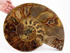 DUŻY AMONIT - 470mm - KREDA DOLNA -110 mln lat