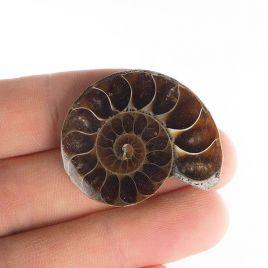 AMONIT - 35 mm - KREDA DOLNA - 110 mln lat - MADAGASKAR