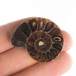 AMONIT - 32 mm - KREDA DOLNA - 110 mln lat - MADAGASKAR