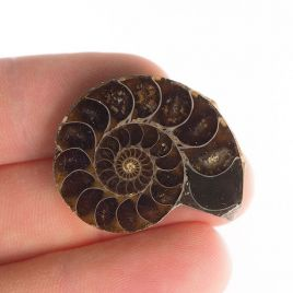 AMONIT - 30 mm - KREDA DOLNA - 110 mln lat - MADAGASKAR