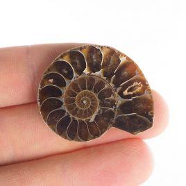 AMONIT - 33 mm - KREDA DOLNA - 110 mln lat - MADAGASKAR