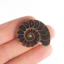 AMONIT - 31 mm - KREDA DOLNA - 110 mln lat - MADAGASKAR